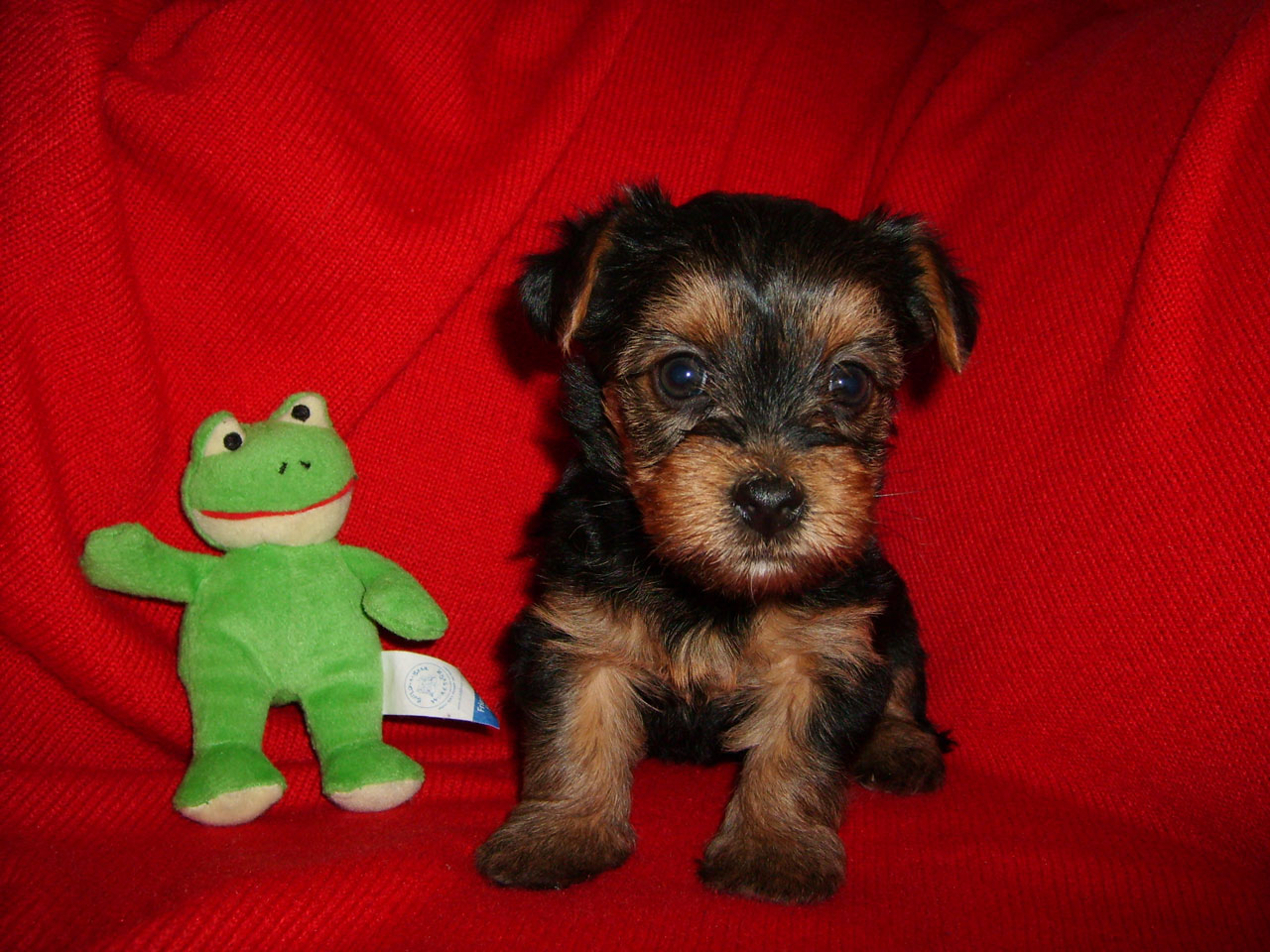 Yorkiepoo Pexswillow Dogs Dog Breeders Puppies For Sale